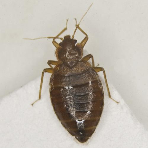 Maschio adulto di C. lectularius visione dorsale