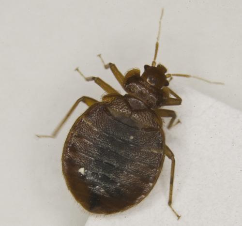 Femmina adulta di C. lectularius visione dorsale