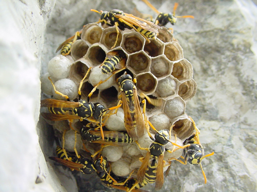 Quanto vive una vespa