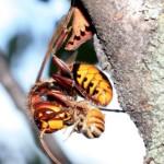 calabrone-si-ciba-di-ape