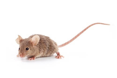 white rats with red eyes