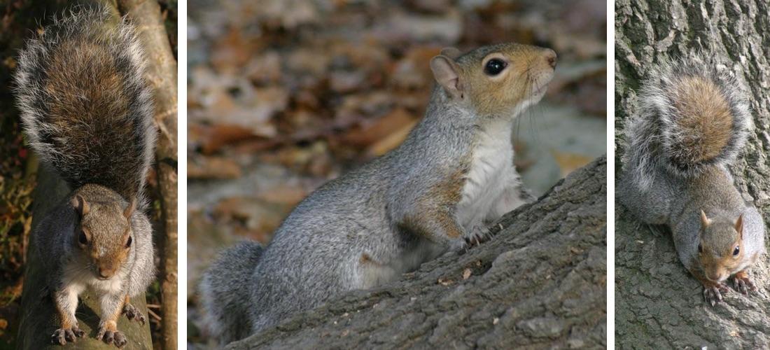 scoiattolo-grigio-3