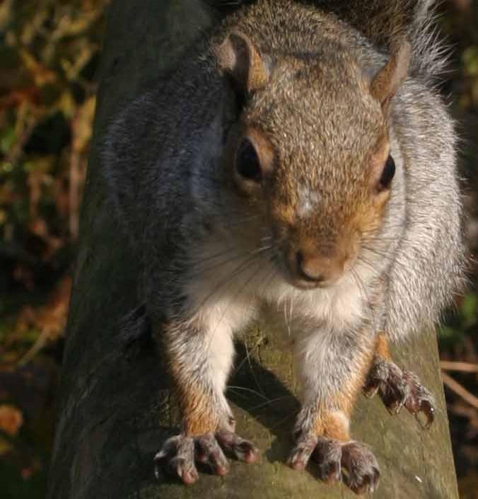 scoiattolo-grigio