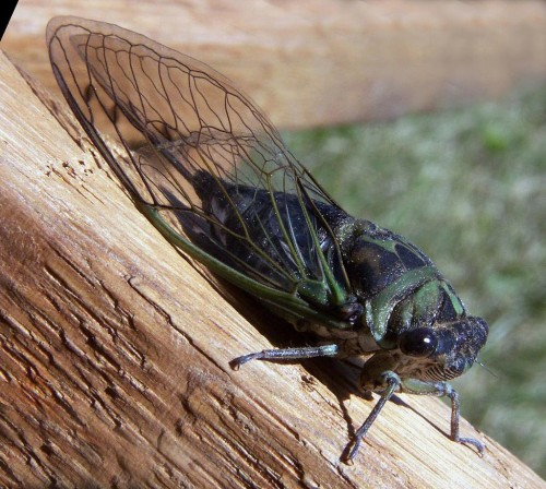 Bruce Marlin-Own workhttp://www.cirrusimage.com/homoptera_cicada_T_linnei.htm