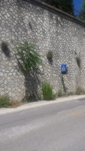 ailanto su mura di contenimento