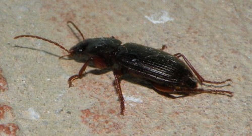 Piccoli insetti neri sui muri heteromurus nitidus with - Piccoli insetti sui muri di casa ...