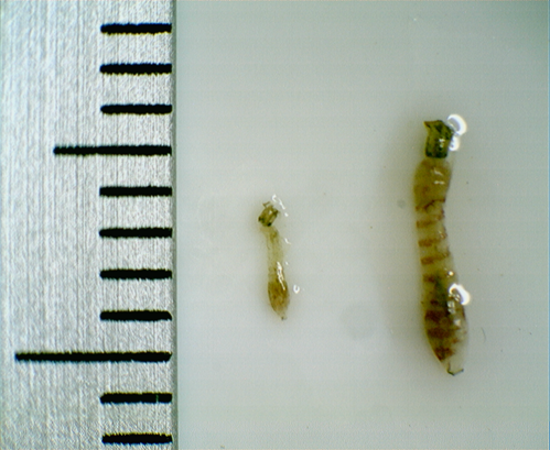 Simulidi - larve