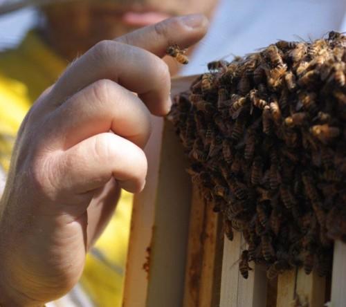 la docilità delle api