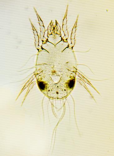 Glycyphagus domesticus Ninfa
