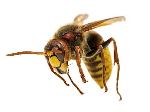 the hornet attacks on white